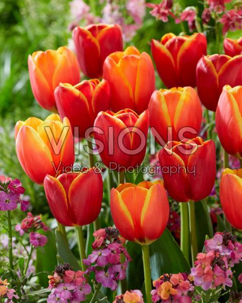 Tulipa Worlds Friend, Flying Dragon