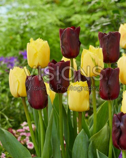 Tulipa Monique, Magic Maroon