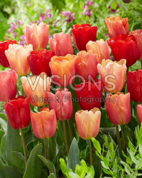Tulipa Jimmy mix