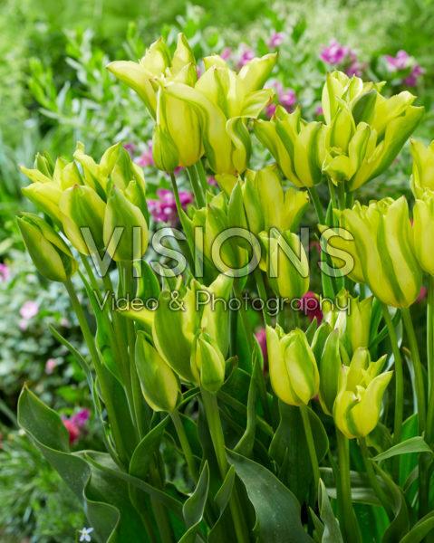 Tulipa Groenland Duineveld