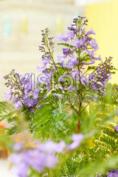 Jacaranda Bonsai Blue