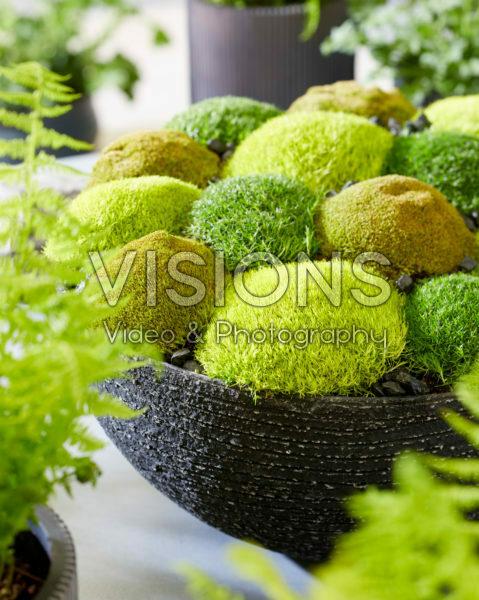 Sagina subulata Cosmozz® Apple, Lemon and Orange