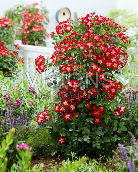 Rosa Everglow Ruby