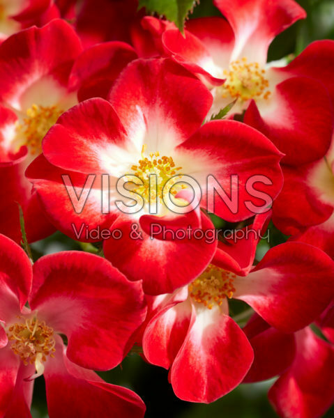 Rosa Everglow Ruby