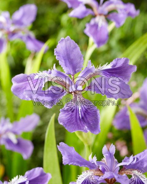 Iris tectorum Woolong