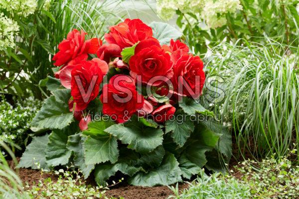 Begonia AmeriHybrid® Roseform Red