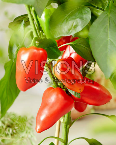 Capsicum annuum Sweet F1 Red
