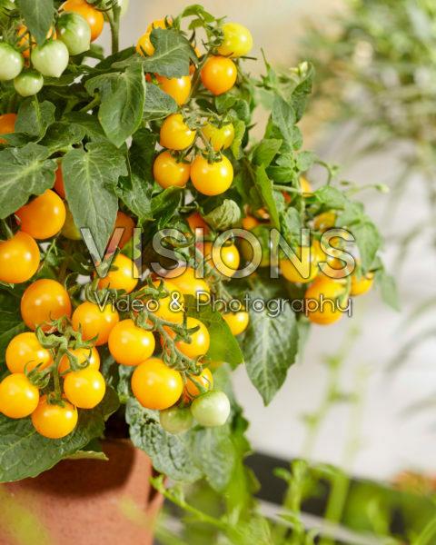 Solanum lycopersicum James F1 Geel