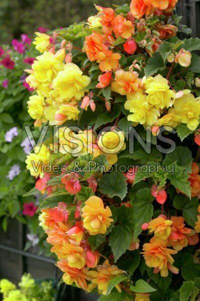 Begonia cascade yellow + orange