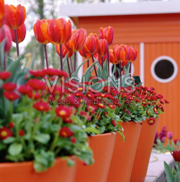 Bellis perennis, Tulipa Prinses Irene