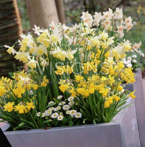 Bellis perennis, Narcissus
