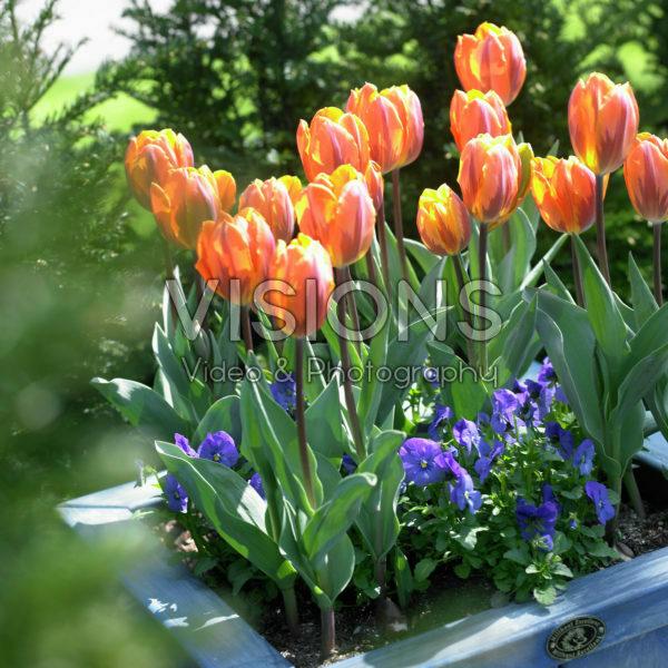 Tulipa Prinses Irene, Viola blue
