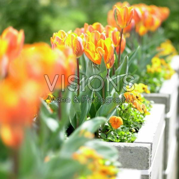 Tulipa Prinses Irene, Viola