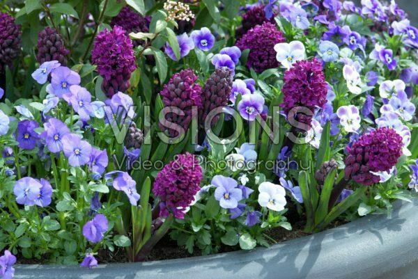 Hyacinthus Woodstock, Viola Mariposa Blue