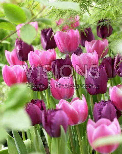 Tulipa Curly Sue, Tineke vander Meer