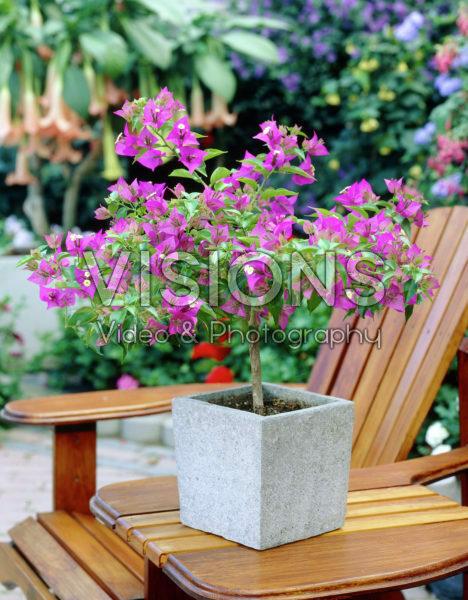 Bougainvillea purple