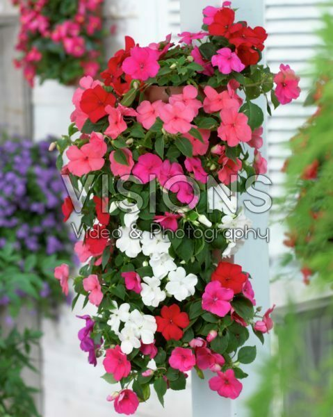 Impatiens in hanging pot