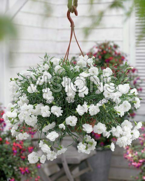 Dianthus white