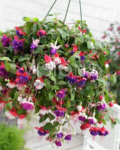 Fuchsia mixed