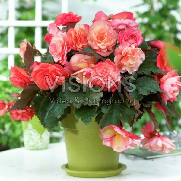 Begonia Cascade® Odorosa® mix