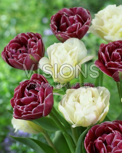 Tulipa Dream Touch, White Touch
