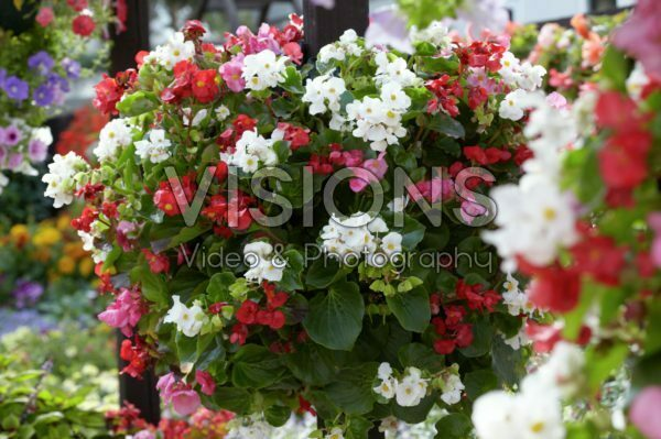 Begonia semperflorens mix