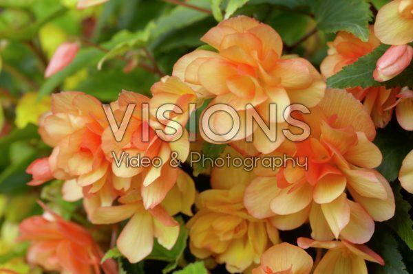 Begonia Apricot Shades