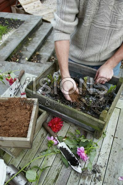 Covering dahlia tubers with peat