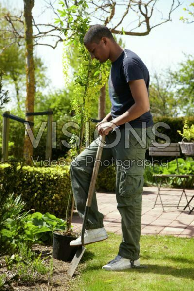 Man planting Laburnum