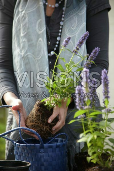 Woman planting Agastache Blue Fortune