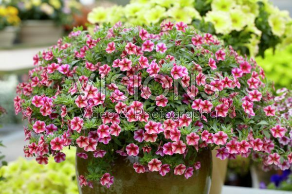 Calibrachoa Can-Can® Rose Star
