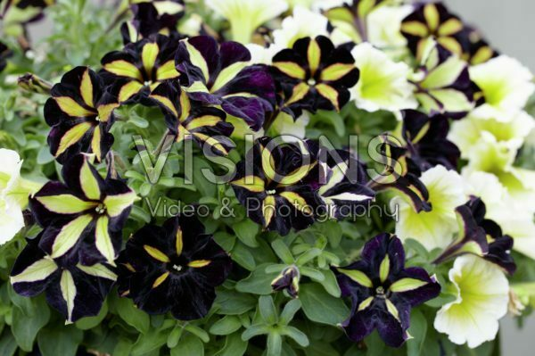 Petunia Phantom, Sun Spun Yellow