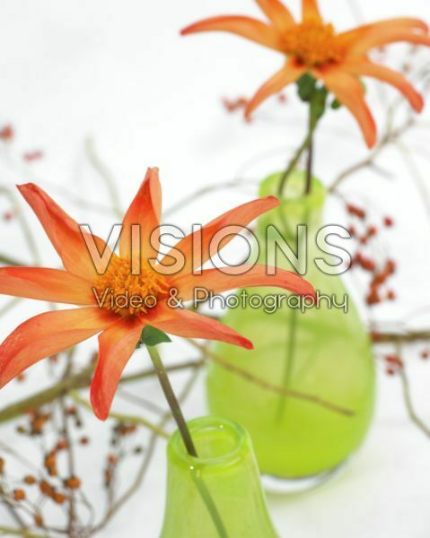 Dahlia Honka Orange