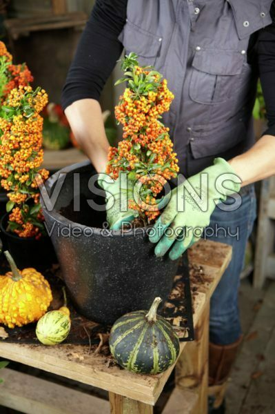 Planting winter container