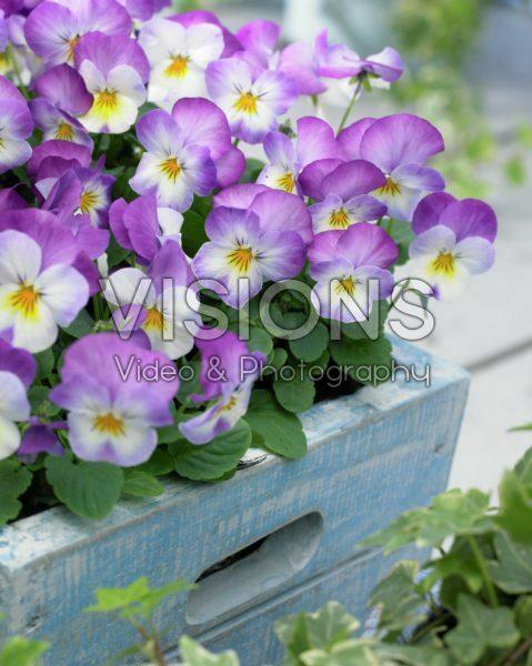 Viola cornuta Deltini Rose Pink