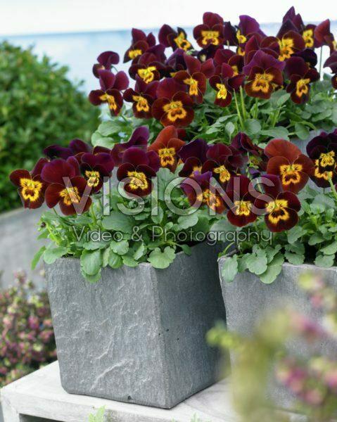 Viola cornuta Rocky Red with Yellow Face