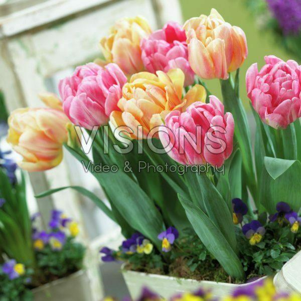 Tulipa Foxtrot, Foxy Foxtrot