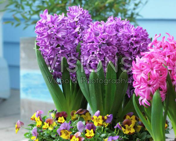 Hyacinthus Purple Voice