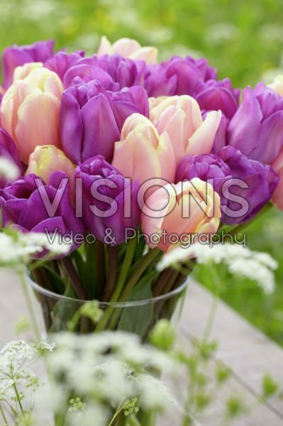 Tulipa Magic Lavender, Mango Charm