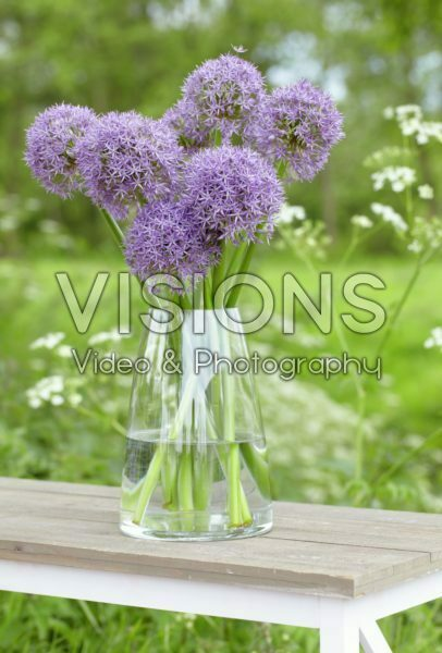 Allium Purple Caila