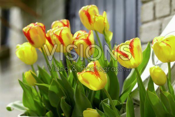 Tulipa Burning Calgary